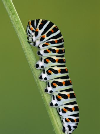 Oldworld Swallowtail (Papilio Machaon) Caterpillar on Stem, Europe Photographic Print by Ingo Arndt/Minden Pictures