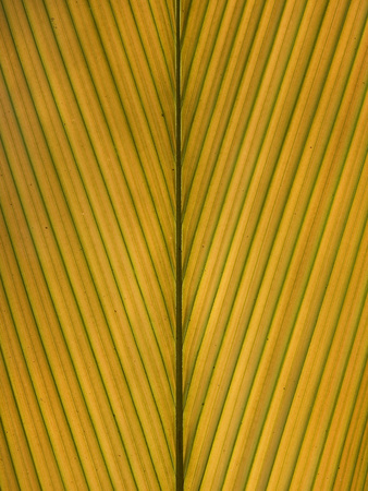 Palm Leaf Showing Midrib and Veination, Yavari River, Amazon Basin, Peru Photographic Print by Ingo Arndt/Minden Pictures