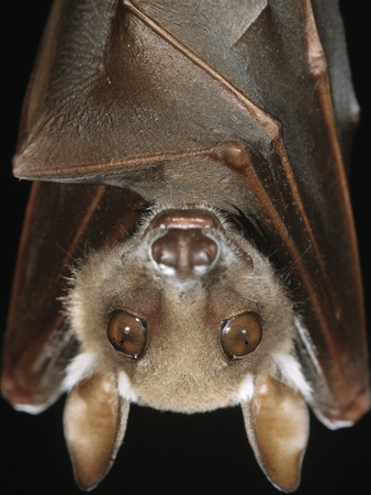 Buettikofer's Epauletted Bat (Epomops Buettikoferi) Close Up of Face Photographic Print by Ingo Arndt/Minden Pictures