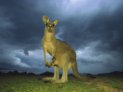 Eastern Grey Kangaroo (Macropus Giganteus) Mother under Storm Clouds with Joey in Pouch, Australia Photographic Print by Ingo Arndt/Minden Pictures