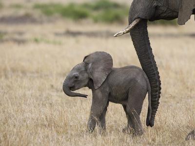 African Elephant (Loxodonta Africana) Mother and Less Than 3 Weeks Old Calf, Masai Mara, Kenya Photographic Print by Suzi Eszterhas/Minden Pictures