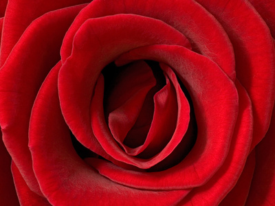 Rose (Rosa Sp.) Detail, Germany Photographic Print by Ingo Arndt/Minden Pictures