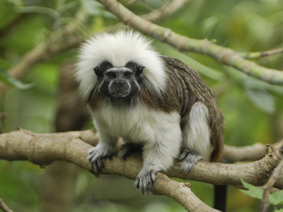 Cotton-Top Tamarin (Saguinus Oedipus) in Tree, Northern Colombia Photographic Print by Thomas Marent/Minden Pictures