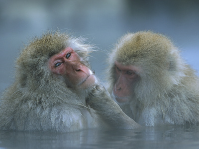 Japanese Macaque (Macaca Fuscata) Pair Grooming in Hot Spring, Joshinetsu Plateau Nat'l Park, Japan Photographic Print by Ingo Arndt/Minden Pictures