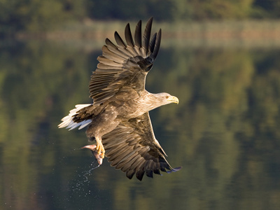 White-Tailed Eagle (Haliaeetus Albicilla) Flying, Norway Photographic Print by Ingo Arndt/Minden Pictures