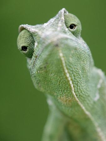 African Chameleon (Chamaeleo Africanus) Portrait, Africa Photographic Print by Ingo Arndt/Minden Pictures