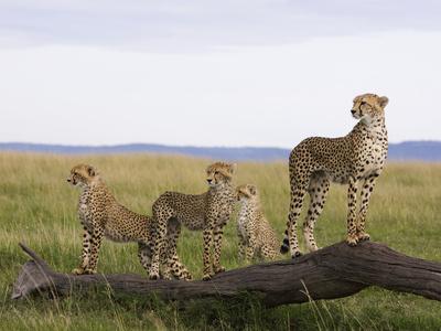 Cheetah (Acinonyx Jubatus) Mother and 6 Month Old Cubs, Masai Mara Nat'l Reserve, Kenya Fotografisk tryk af Suzi Eszterhas/Minden Pictures
