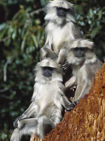 Grey or Common Langur (Semnopithecus Entellus) Trio in the Himalayan Mountains Photographic Print by Cyril Ruoso