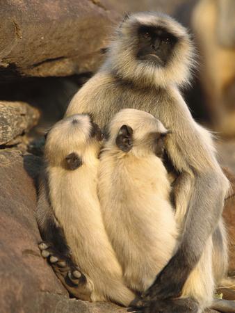 Hanuman or Grey or Common Langur (Semnopithecus Entellus) Mother Nursing Twins Photographic Print by Cyril Ruoso