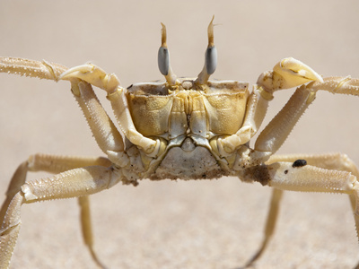 A Sand Crab on the Beach Photographic Print by Pete McBride