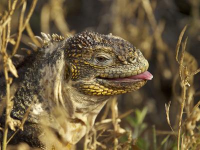 Galapagos Land Iguana, Conolophus Subcristatus, Sticking Toungue Out Photographic Print by Tim Laman