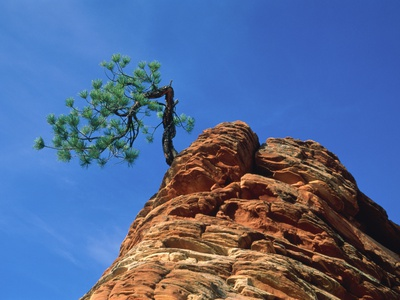 Tree on cliff, Zion National Park, Utah, USA Photographic Print by Roland Gerth