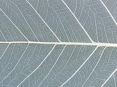 Leaf of a poplar,  macro shot Photographic Print by Josh Westrich