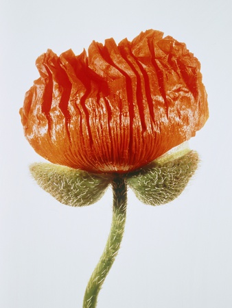 Red poppy blossom Photographic Print by Josh Westrich
