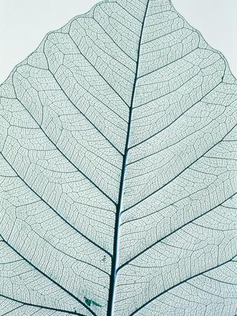 Leaf vein Photographic Print by Josh Westrich