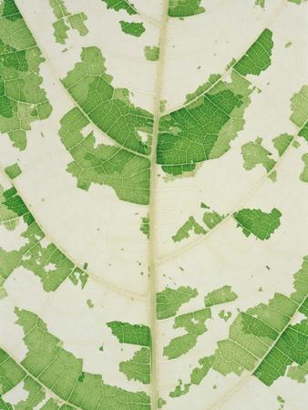 Fig leaf Photographic Print by Josh Westrich