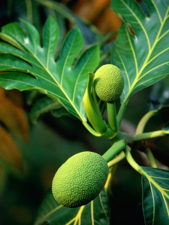 Breadfruit tree on Jamaica Photographic Print by Rainer Hackenberg