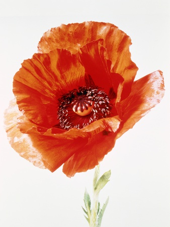 Red poppy Photographic Print by Josh Westrich