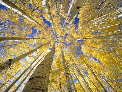 Quaking Aspen Grove in Fall, Colorado Photographic Print by John Eastcott & Yva Momatiuk