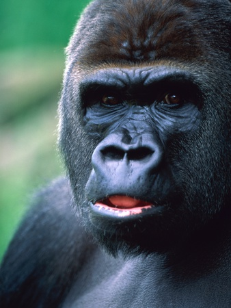 Gorilla Photographic Print by Frank Krahmer