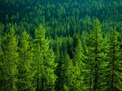 Pine Forest in Yosemite National Park Photographic Print by Cody Wood