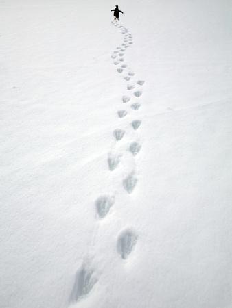 Gentoo Penguin Walking and Leaving Footprints in Snow Photographic Print by John Eastcott & Yva Momatiuk