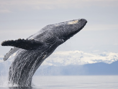 Humpback Whale animal summer scenes photo by Paul Souders