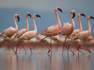 Pink Flamingos standing in shallow water