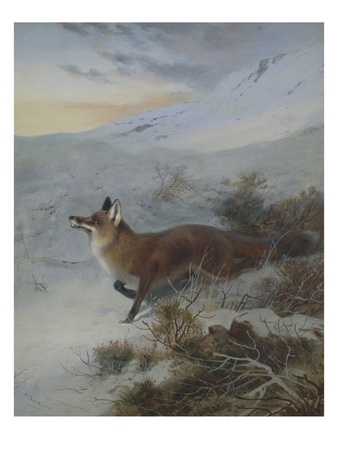 A Fox in a Winter Landscape Premium Giclee Print by Archibald Thorburn