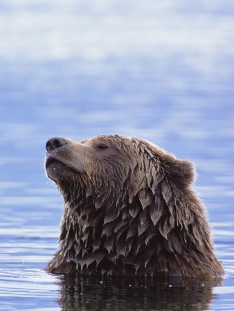 A Brown Bear Emerges from a Lake Photographic Print by John Eastcott & Yva Momatiuk