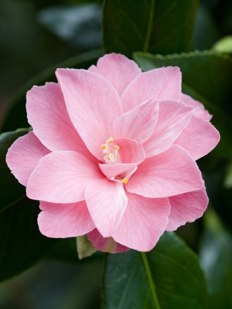 Camellia x williamsii 'Billie McCaskell' Photographic Print by Mark Bolton