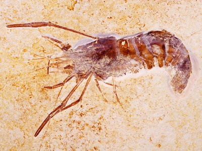 Crustacean Fossil from Solnhofen Limestone Formation Photographic Print by Naturfoto Honal