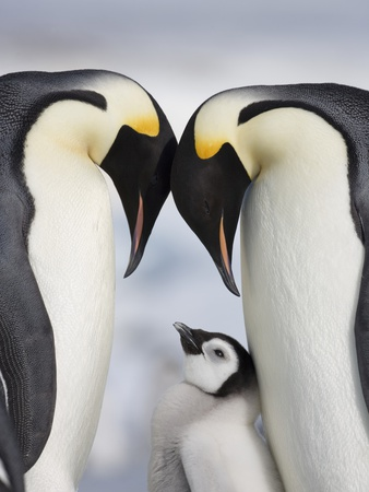 Emperor Penguins and Chick in Antarctica Fotoprint av Paul Souders