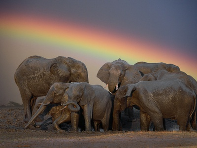 Elephants Taking Mud Bath Photographic Print by Jim Zuckerman