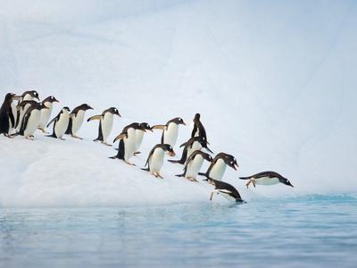 Gentoo Penguins Jumping Off Iceberg into Gerlache Strait Photographic Print by John Eastcott & Yva Momatiuk