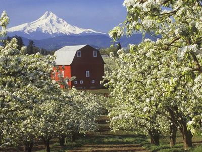 Barn in Orchard Below Mt. Hood Photographic Print by John McAnulty