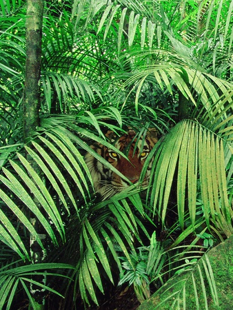 Tiger Hiding in Foliage Fotoprint