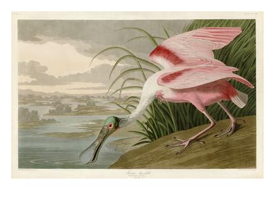 Roseate Spoonbill Gicléetryck av John James Audubon