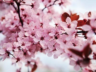 Japanese cherry blossom, cherry blossom photos by Kai Schwabe