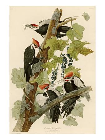 Pileated Woodpecker Premium Giclee Print by John James Audubon