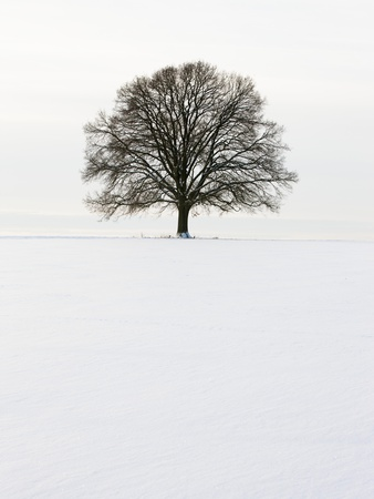 Old oak tree on a field in winter Fotoprint av Frank Lukasseck
