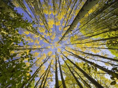 Golden Aspen Trees Seen From Below Photographic Print by John Eastcott & Yva Momatiuk