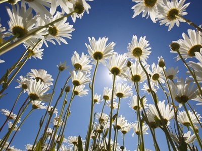 Sun and sky through the sight of daisies summer scenes photo poster by Craig Tuttle