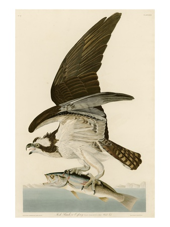 Fish Hawk or Osprey Premium Giclee Print by John James Audubon