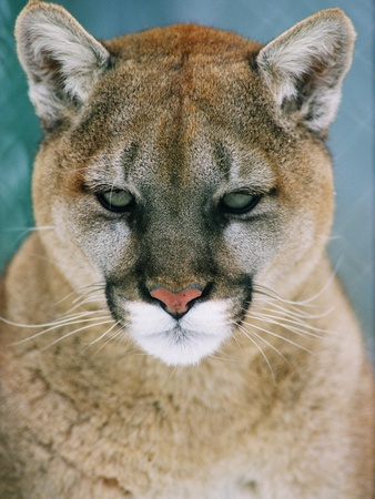 western cougar puma concolor l mina fotogr fica por mark jurkovic en. Black Bedroom Furniture Sets. Home Design Ideas
