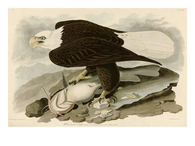 White Headed Eagle Premium Giclee Print by John James Audubon