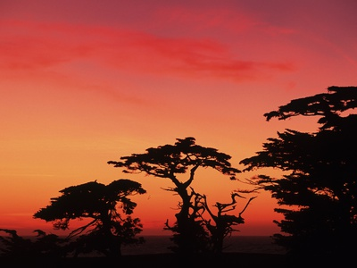 USA, California, Carmel, Highway 1 on Coast, Pebble Beach, Juniper Trees at Sunset Lámina fotográfica