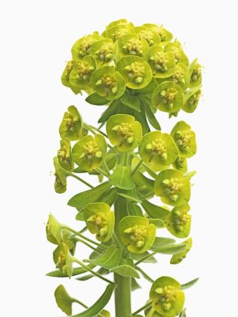 Euphorbia Photographic Print by Frank Krahmer