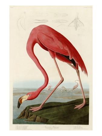 Amerikansk flamingo Gicléetryck av John James Audubon