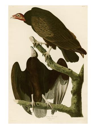 Turkey Buzzard Premium Giclee Print by John James Audubon